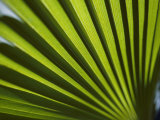 Gros plan des rayons du soleil brillant à travers les feuilles d'un palmier Papier Photo par Todd Gipstein