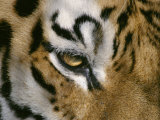 The Eye of a Tiger and Part of its Facial Markings Photographic Print by Dr. Maurice G. Hornocker
