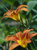 View of a Tiger Lily Photographic Print by Taylor S. Kennedy
