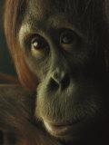Female Orangutan Fotografisk tryk af Michael Nichols