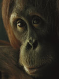 Female Orangutan Photographic Print by Michael Nichols