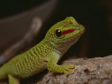 Madagascar Gecko, Bred in Captivity at Fort Worth Zoological Parks Reptile Facility Photographic Print by Bates Littlehales