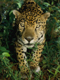 Un jaguar regardant suspicieusement le photographe Photographie par Steve Winter