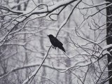 A Black Crow Contrasts with Falling White Snow Blanketing the Surrounding Woods Reproduction photographique par Stephen St. John
