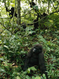 A Group of Gorillas in One of Gabons New National Parks Photographic Print by Michael Nichols
