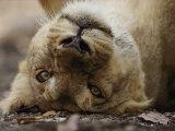 Female Asian Lion Playfully Rolls on Her Back Fotografisk tryk af Mattias Klum