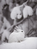Portrait of a Snowshoe Hare Photographic Print by Michael S. Quinton