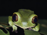 Extreme Close-up of a Green Tree Frog in the Rain Forest Photographic Print by Mattias Klum