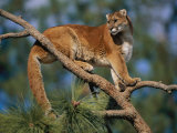 A Captive Cougar Photographic Print by Paul Nicklen