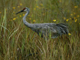 A Sandhill Crane Stands Amid Tall Grass and Wildflowers in Okefenokee Swamp Photographic Print by Randy Olson