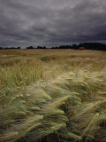 Grain Field in Northern Germany under Stormy Skies Photographic Print by Steve Raymer