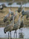 Sandhill Cranes Roost in the Platte River Photographic Print