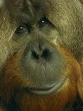 Male Orangutan Lámina fotográfica por Nichols, Michael