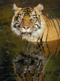 A Tiger Glares Directly into the Camera Photographic Print by Jason Edwards