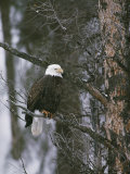 A Bald Eagle Perches Majestically on a Douglas Fir Photographic Print by Michael S. Quinton