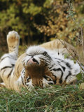 An Adult Siberian Tiger Lounges on His Back Photographic Print by Dr. Maurice G. Hornocker