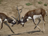Sparring Blackbucks Photographic Print by Bates Littlehales
