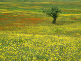A Lone Apple Tree Stands in a Field Full of Dandelions and Orange Hawkweed Fotografisk tryk af Phil Schermeister