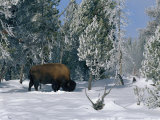 An American Bison Forages for Food Beneath a Thick Blanket of Snow Photographie par Norbert Rosing
