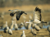 Sandhill Cranes at the Platte River Roost Photographic Print