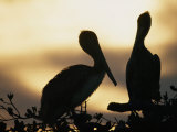 Pelicans Silhouetted at Sunset Reproduction photographique par Bill Curtsinger