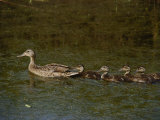 A Northern Pintail Duck Leads Her Brood Through the Water Photographic Print by Bates Littlehales