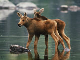 Moose Twins Stand in the Shallow Water of a Pond Photographic Print by Phil Schermeister