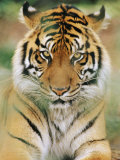 A Portrait of a Sumatran Tiger Fotoprint van Norbert Rosing