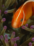 A Pink Anemonefish in the Tentacles of a Sea Anemone Photographic Print by Tim Laman