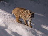 Bobcat Prowls over the Snow Photographic Print by Dr. Maurice G. Hornocker
