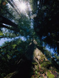 Tall Trees are Photographed at an Angle from Below Photographic Print by Paul Nicklen