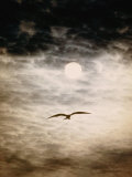 A Silhouetted Frigate Bird Takes Flight in a Stangely Lit Daytime Sky Photographic Print by Paul Chesley