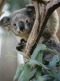 Close View of a Koala Bear Photographic Print by Kenneth Garrett