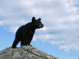 A Young American Black Bear Surveys the Countryside from Atop a Boulder Photographic Print by Norbert Rosing