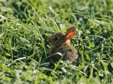 A Baby Cottontail Rabbit Sits Among the Clover Photographic Print by George F. Mobley