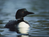 Portrait of a Common Loon in the Water Fotografiskt tryck av Michael S. Quinton