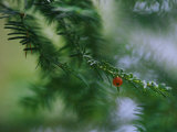 Detail of an Evergreen Bough with One Red Berry Set against Softened Branches Photographic Print by Mattias Klum