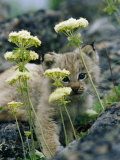 A Tiny Lynx Cub Peeks out Through a Clump of Wildflowers Fotografisk tryk af Norbert Rosing