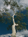 View Looking up the Trunk of a Ghost Gum Tree Photographic Print by Richard Nowitz