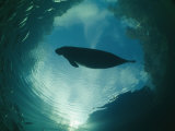 A Florida Manatee is Silhouetted against the Sky Photographic Print by Brian J. Skerry