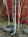 Fall Color in the Wasatch Mountains of Utah Photographic Print by Phil Schermeister