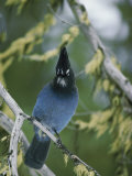 Close View of a Stellers Jay Sitting on a Branch Photographic Print by Michael S. Quinton