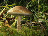 Close View of a Bolete Mushroom Photographic Print by Darlyne A. Murawski