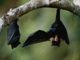 Flying Fox Bats Hang from a Limb in an American Samoa Rainforest Photographic Print by Randy Olson