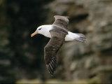 Albatros noir-brun Photographie par Steve Raymer