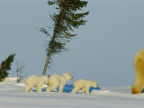 Polar Bear Triplets Follow in Their Mothers Footsteps Photographic Print by Norbert Rosing
