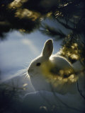 Backlit Portrait of a Little Snowshoe Hare in Winter Camouflage Fotografiskt tryck av Michael S. Quinton