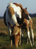 Wild Pony and Foal Grazing in a Field Photographie par James L. Stanfield