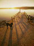A Black Labrador Pauses by the Waterfront Photographic Print by Bill Curtsinger
