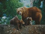 A Mother Grizzly Bear Looks over Her Shoulder as Her Cubs Sit at Her Feet Photographic Print by Joel Sartore